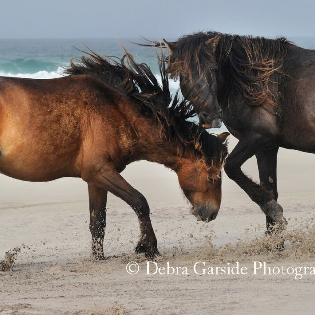 Sable Island Wild Horses - Game On