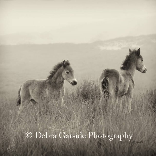 Sable Island Wild Horses - Brothers