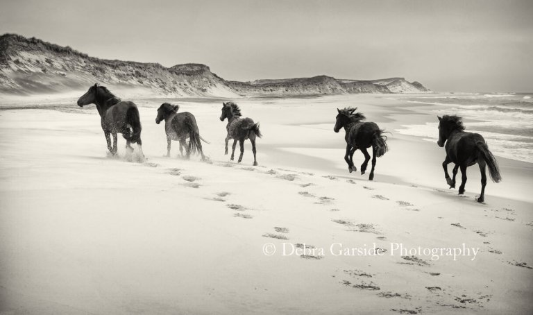 Sable Island Wild Horses - Breezing