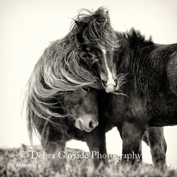 Sable Island Wild Horses - Cozy-up