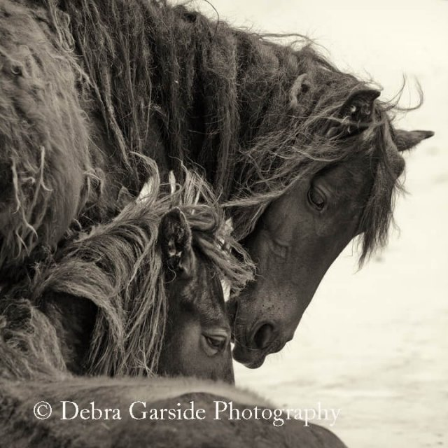 Sable Island Wild Horses - Devotion