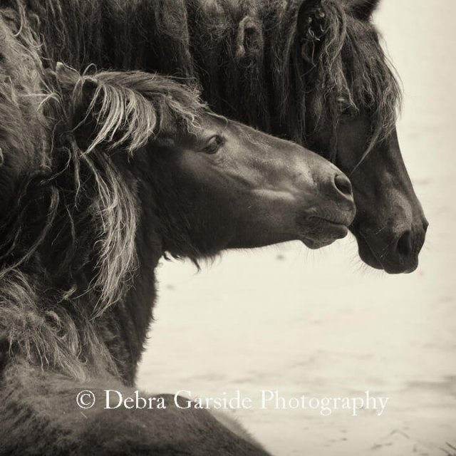 Sable Island Wild Horses - Devotion II
