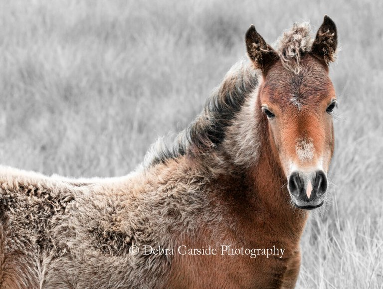 Sable Island Wild Horses - Diamond in the Rough