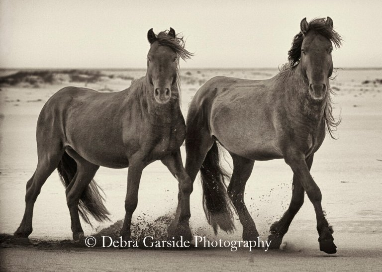 Sable Island Wild Horses - Double Trouble