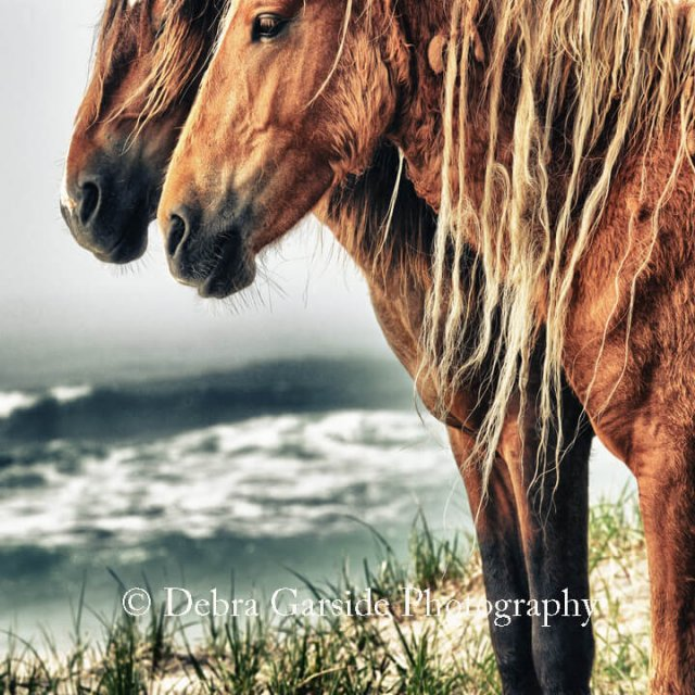 Sable Island Wild Horses - Endless Summer