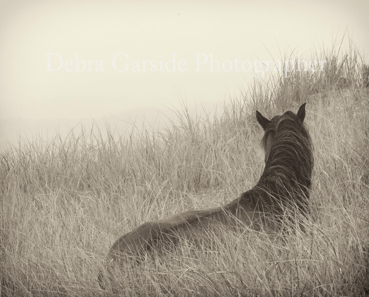 Sable Island Wild Horses - Foggy View