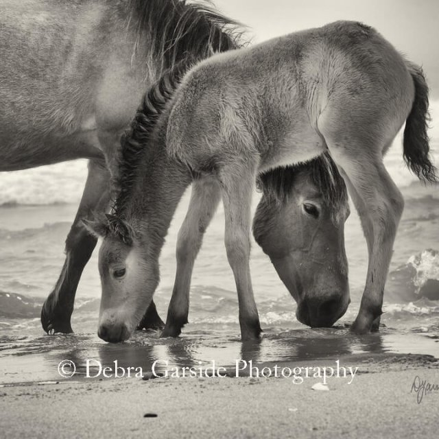 Sable Island Wild Horses - Lapping
