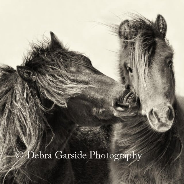 Sable Island Wild Horses - Love Bite
