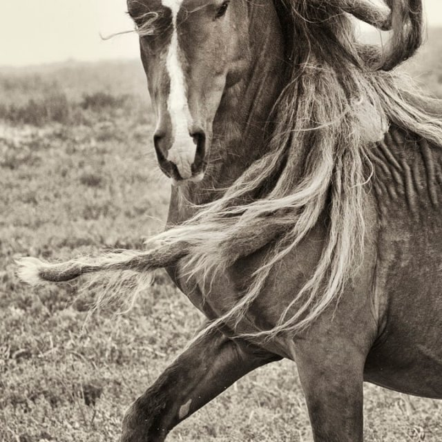 Sable Island Wild Horses - Rock Star V
