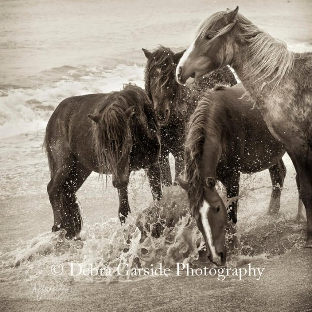 Sable Island Wild Horses - Splash