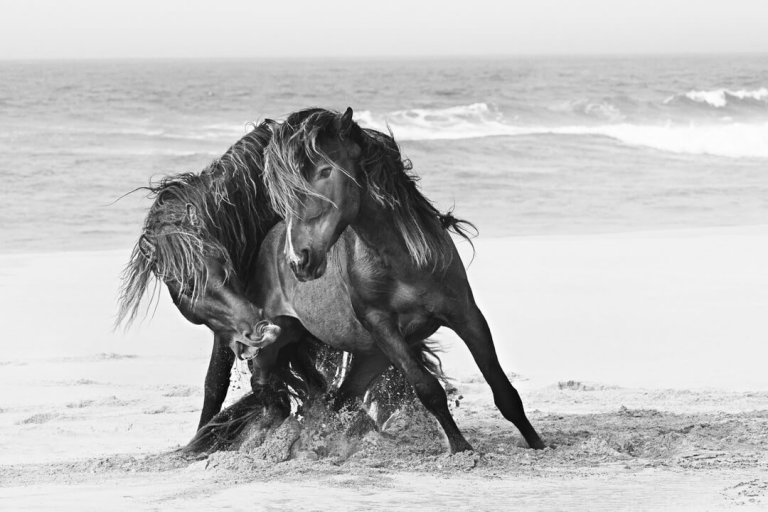 Sable Island Wild Horses - Tempest Black and White