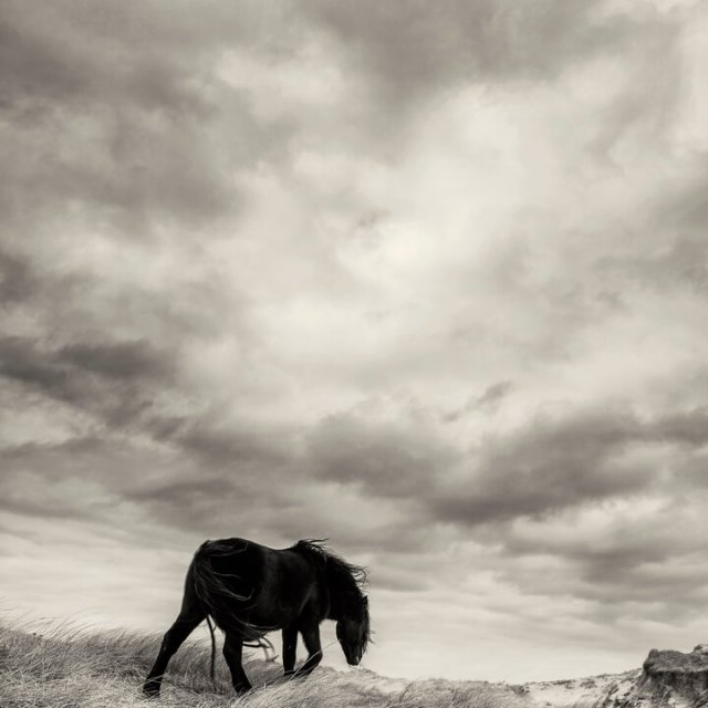 Sable Island Wild Horses - Wild as the Wind