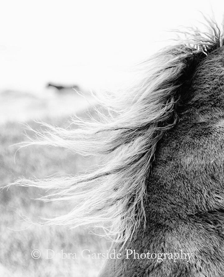 Sable Island Wild Horses - Wishful Thinking