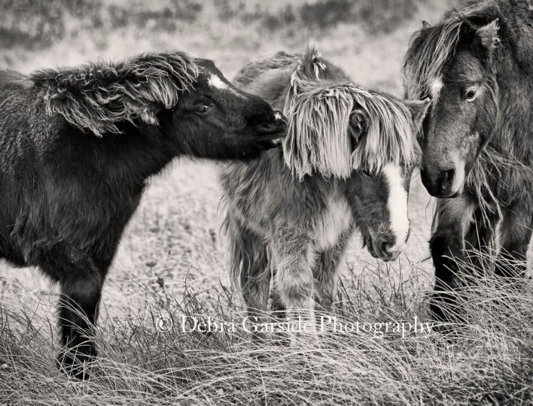 Sable Island Wild Horses - Young Love