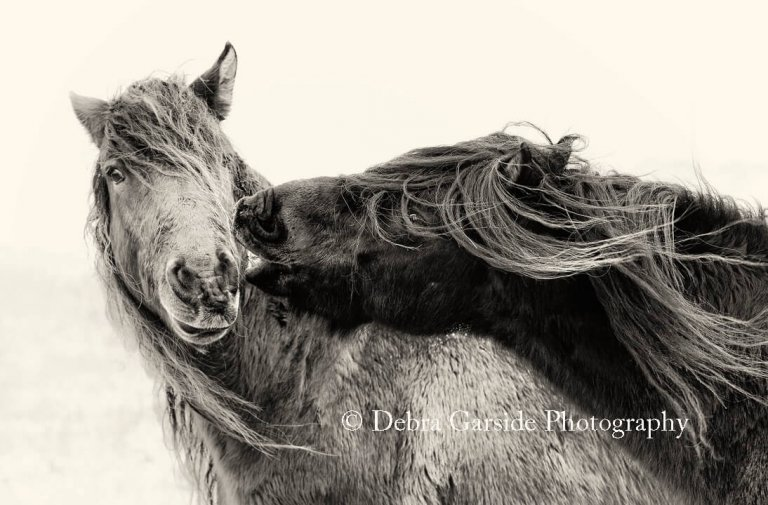 Sable Island Wild Horses - Smooch