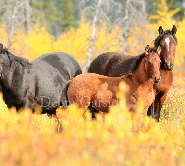 Alberta wild horses - Burnt Timber Herd