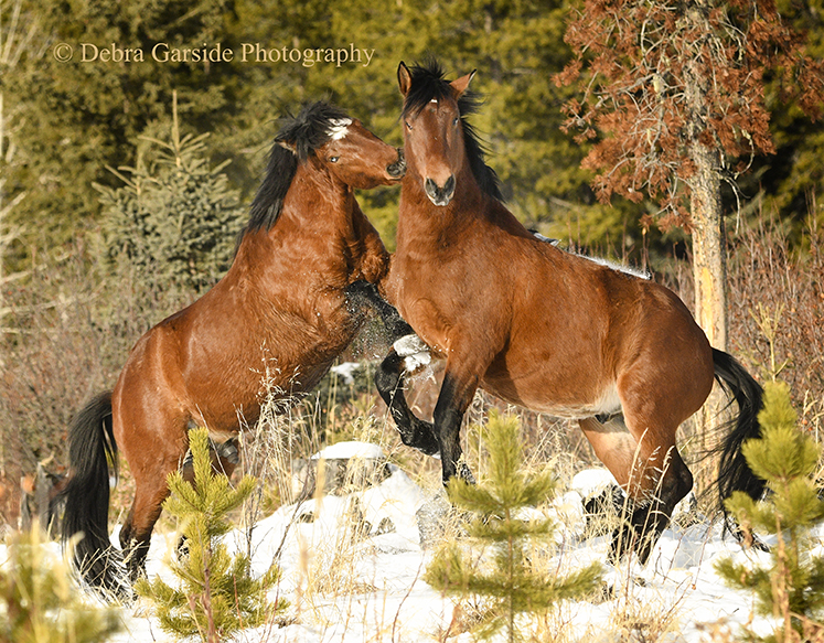 Alberta wild horses - Battle of the Bays