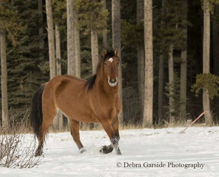 Alberta wild horses - Winter Forest
