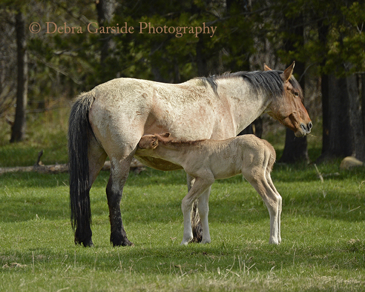 Alberta wild horses - First Day Up