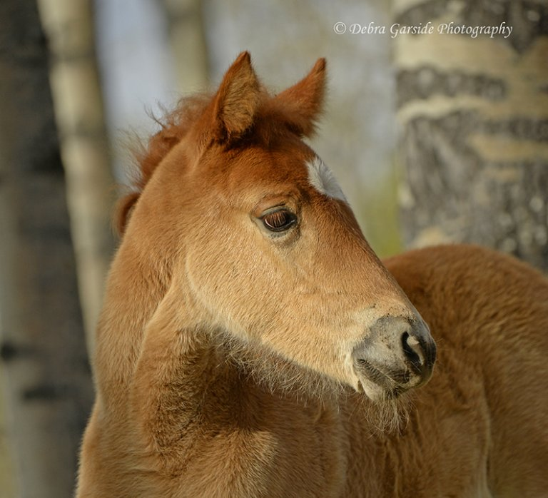 Alberta wild horses - Filly Portrait