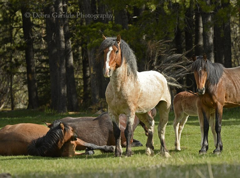 Alberta wild horses - Good Morning Stretch