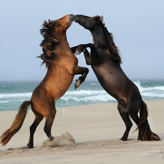 Sable Island Wild Horses - Light Contact