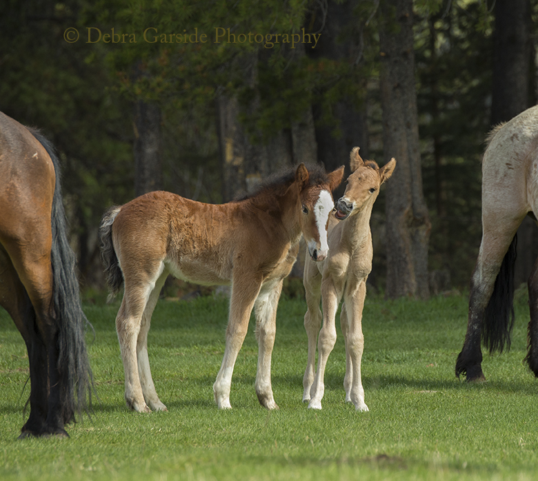 Alberta wild horses - New Friends