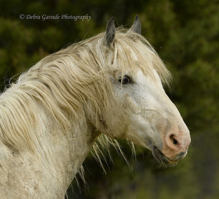 Alberta wild horses - Proud to be Grey