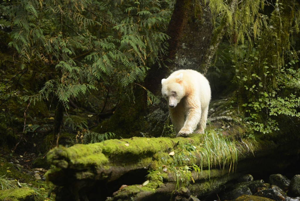 Spirit Bear on log
