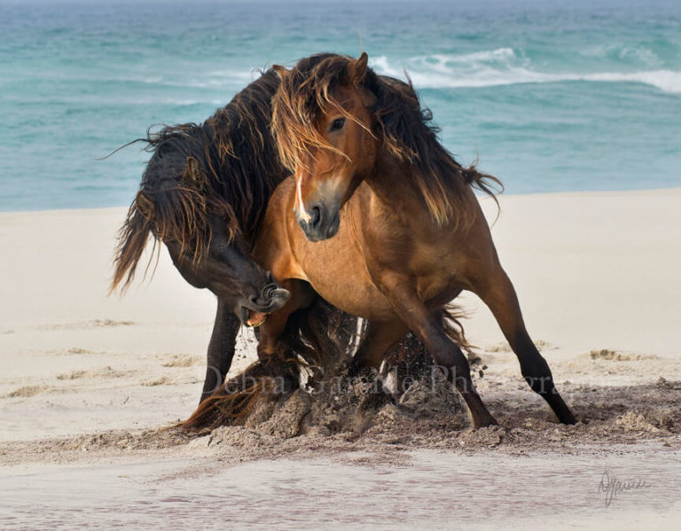Sable Island Wild Horses - The Tempest