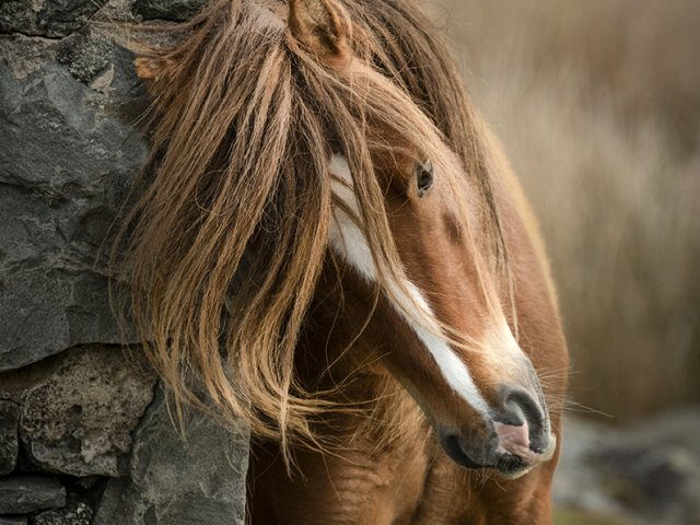 Carnaddau Mountain Wild Pony of Wales