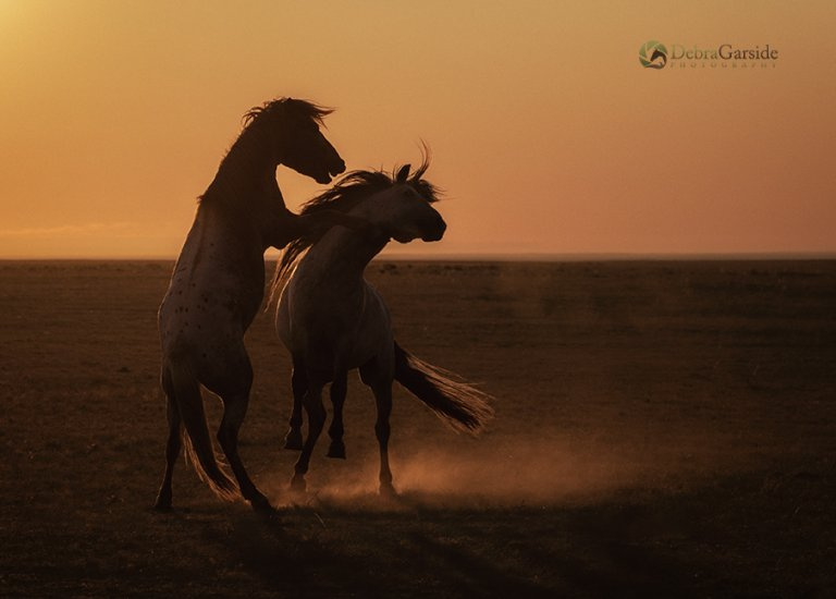 Stallions at Dawn - Mongolian Steppes